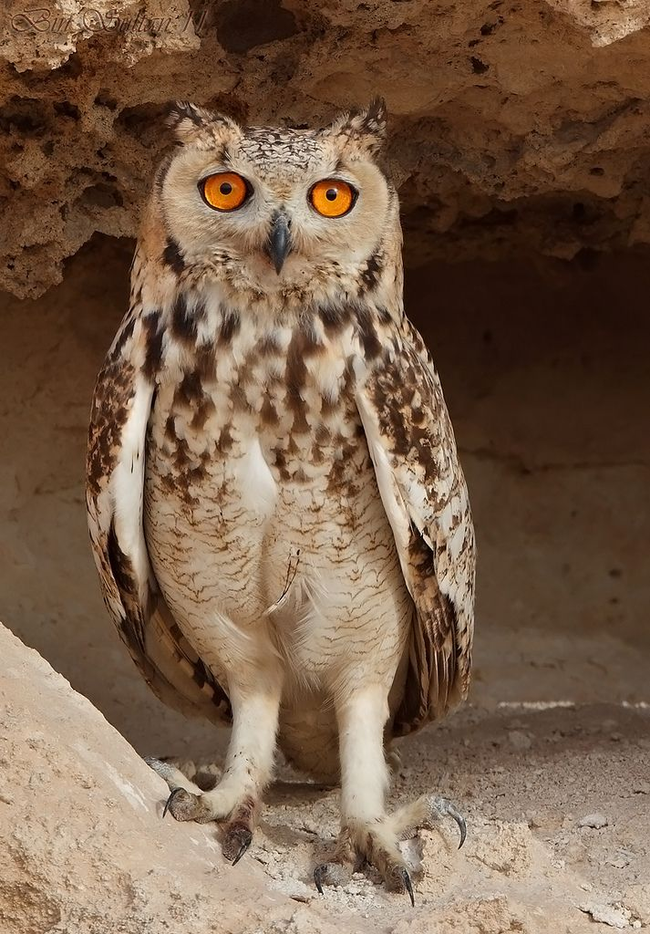 Pharaoh Eagle Owl بومة الصحاري البومة النسارية Beautiful Owl Owl Bird Owl Photos
