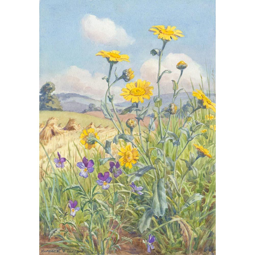 Margaret Tarrant - Heartsease and Corn Marigold