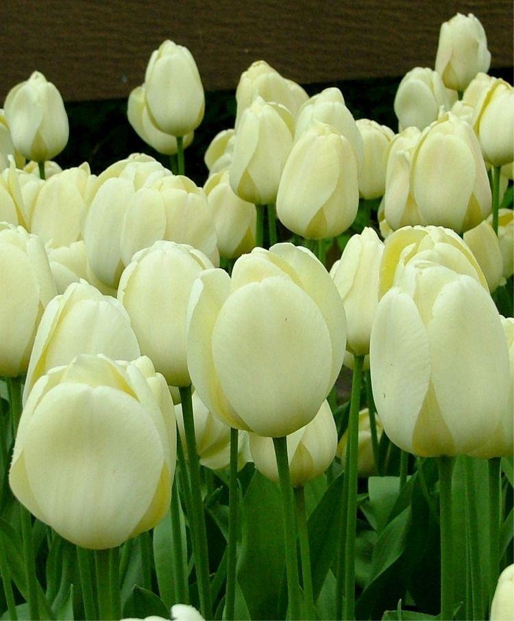 Tulip Cream Jewel Giant Darwin Hybrid Tulips Flower Bulbs Index Tulips Flowers Tulips Bulb Flowers