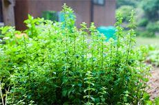 How to grow and harvest oregano