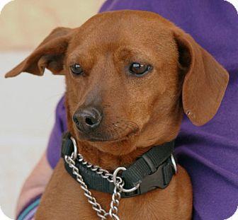 Palmdale Ca Dachshund Mix Meet Mac A Dog For Adoption Http
