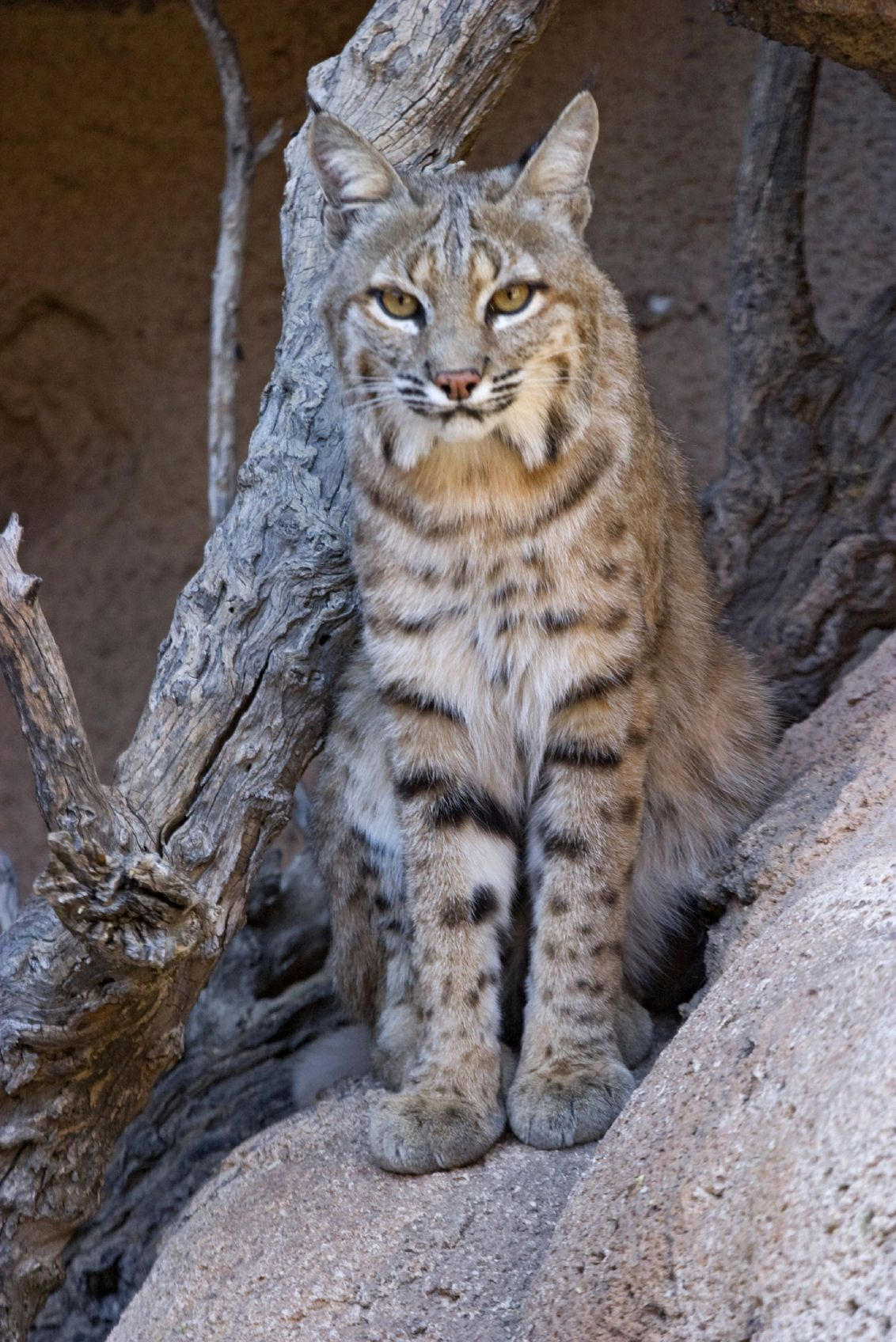 Big Cats Endangered Species Best zoos in america, Big