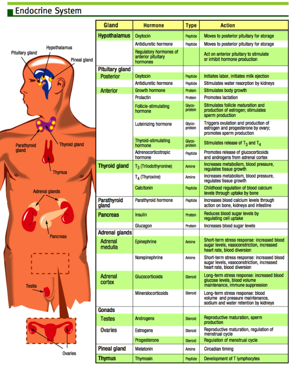 hormonal system - conditions | Health and Wellness | Pinterest ...