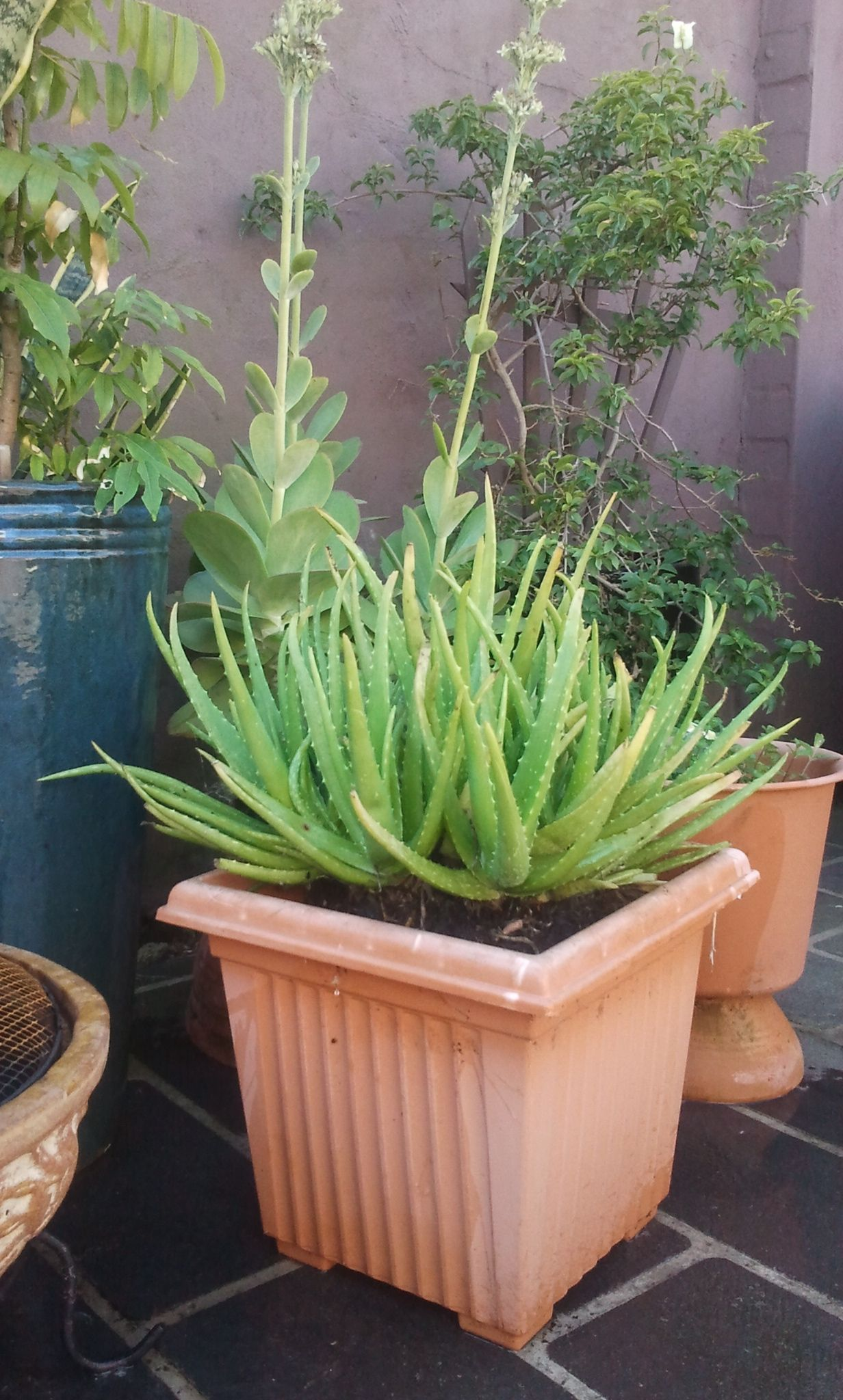 My Aloe Vera Plant S New Home Finished Results