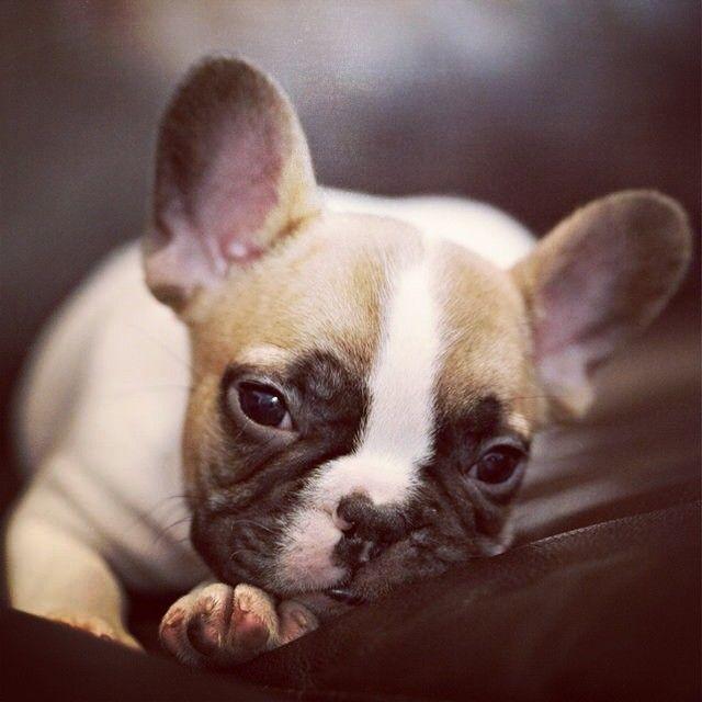 Beautiful French Bulldog Puppy.