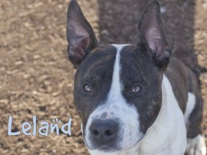 Leland Is An Adoptable Pit Bull Terrier Dog In Indianapolis In Leland Is A Beaut Adopt A Pet Contact Indy Animal Care Control At 317 327 1384 Pitbull Terrier Dogs Bull Terrier Dog
