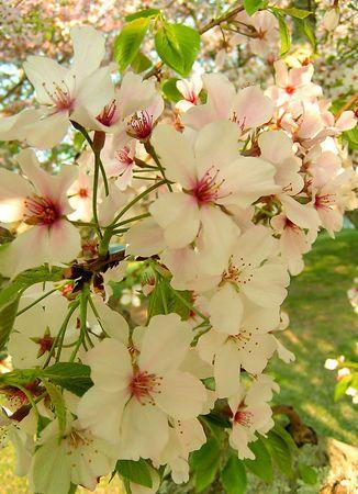 Yoshino Cherry Trees In Macon Georgia Flores Plantas Tropical
