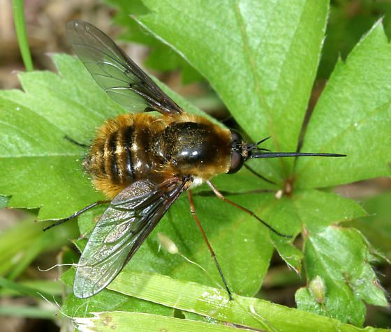Bee fly - Bombylius mexicanus - female