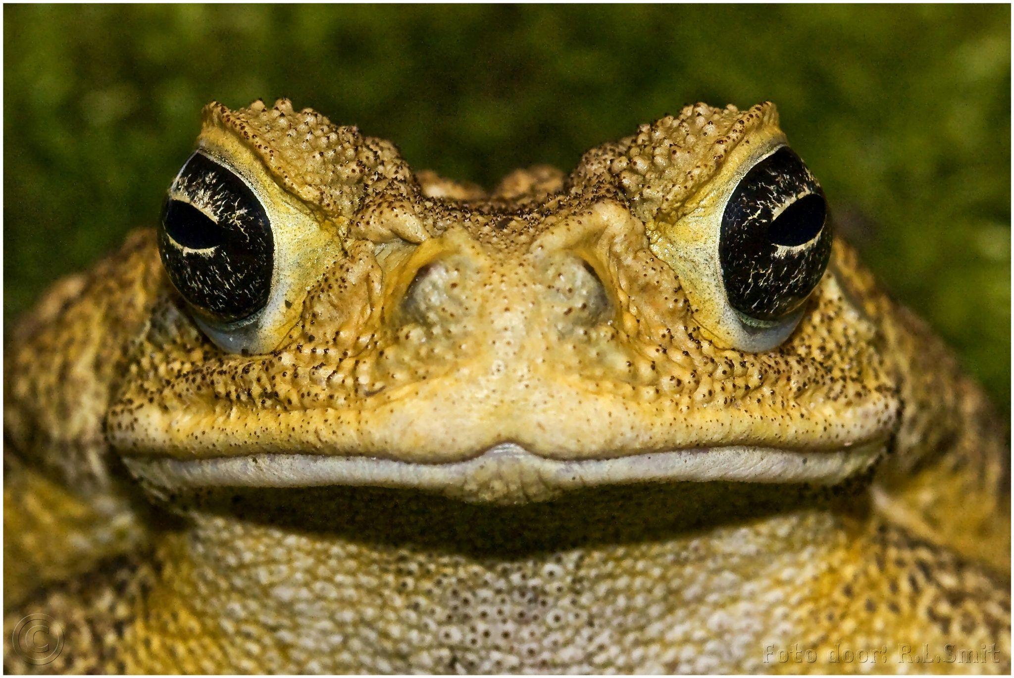 055fd8732558 Bufo marinus by Rob Smit on 500px Kikker Pad Dieren Animals Frog Afrika  Dieren Animals Natuur Nature Wild Wildlife Copyright   freezefotografie gmail.com ...