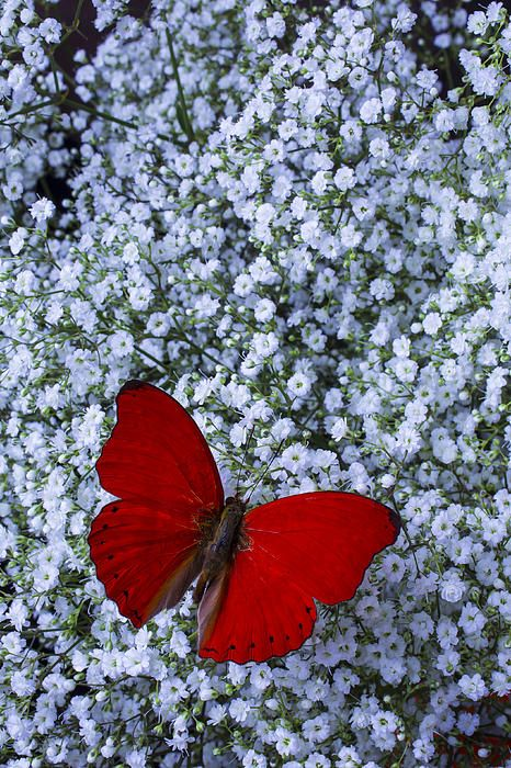 Red Butterfly And Baby's Breath - Artist: Garry Gay
