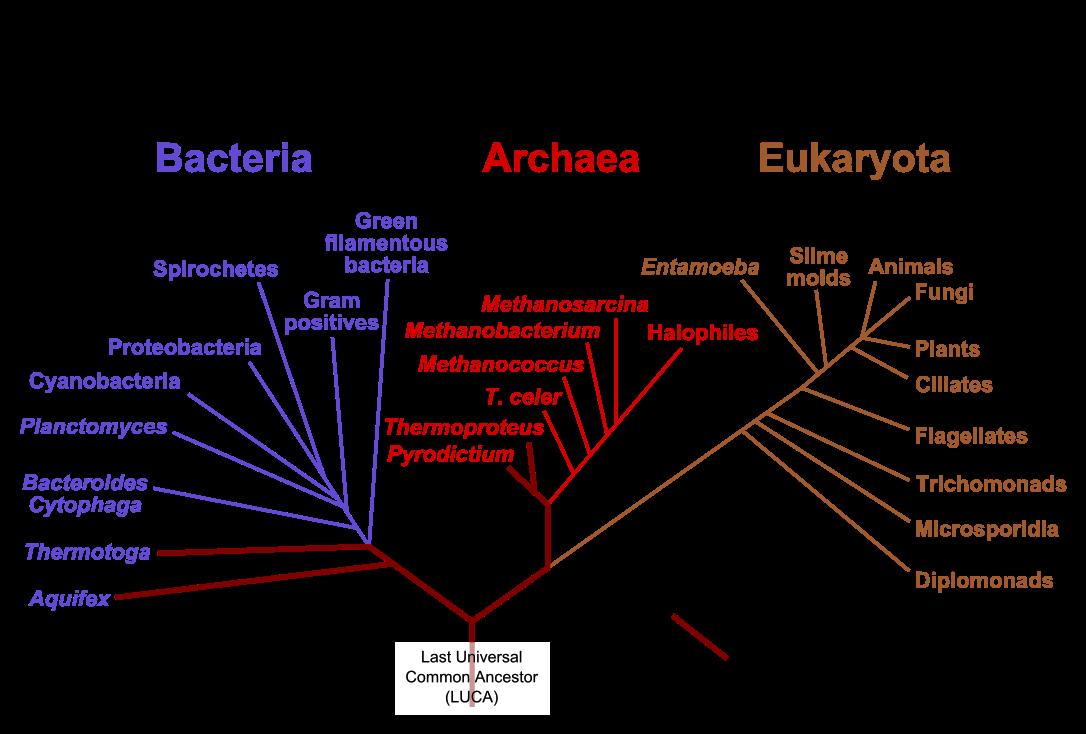 File Phylogenic Tree En Svg Phylogenetic Tree Tree Of Life Life Map