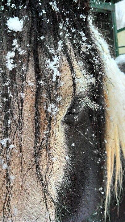 #gypsyhorse