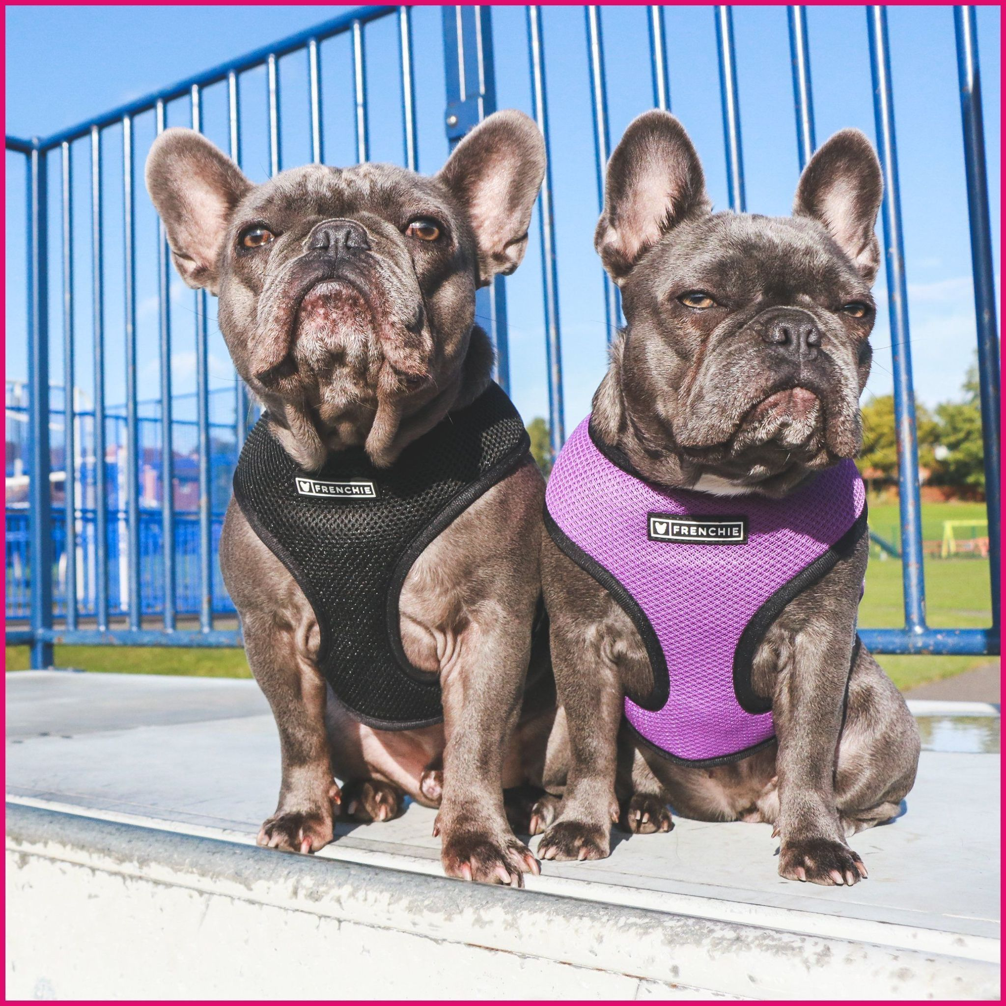 Frenchie Duo Reversible Harness Purple and Silver in
