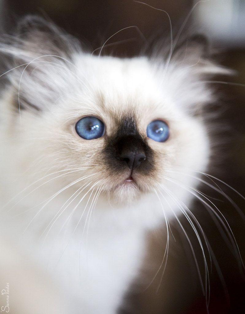 birman kittens for sale maine
