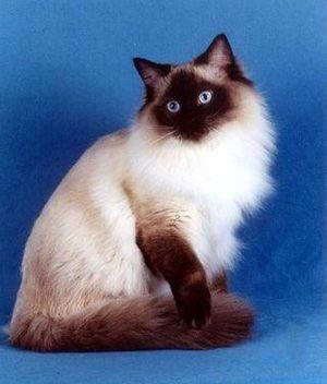 Birman Price Personality Lifespan Ragdoll Cat Cool Cats Beautiful Cats