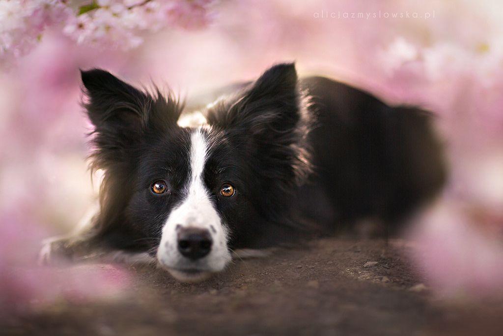 Lotty Border Collie Dog Collie Dog Cute Dog Wallpaper
