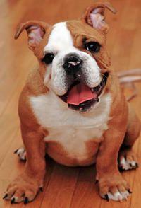 Ginger The English Bulldog Animals Animals English Bulldog