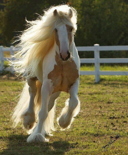 Dragon Fire, a Gypsy Horse