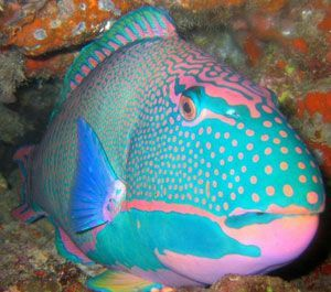 Pink baby blue parrotfish the colors of creation for Blue parrot fish