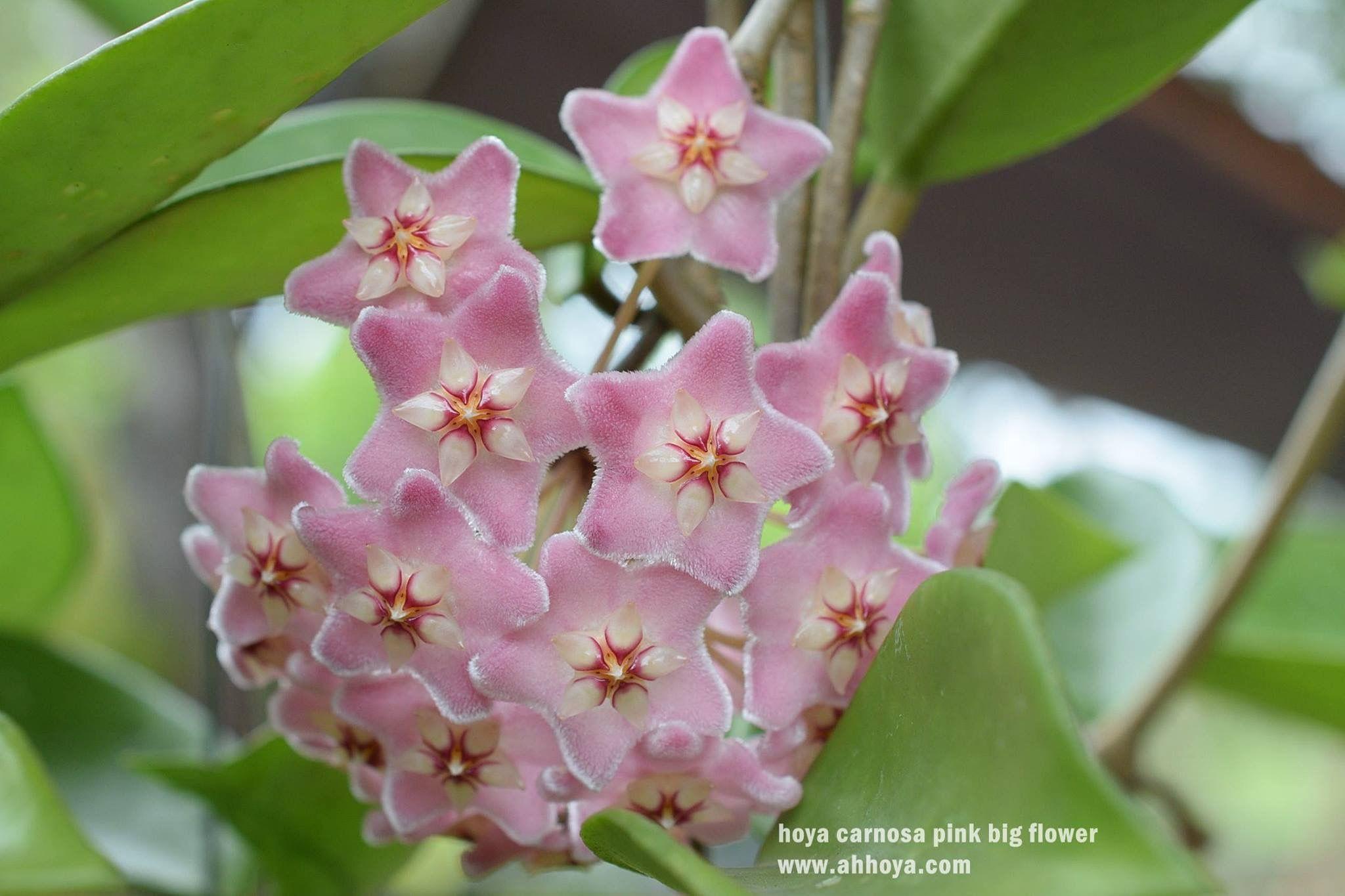 Hoya Carnosa Pink Big Flower Hoya Pinterest Big Flowers
