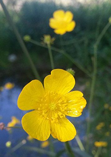 Buttercup SeedRanunculus acris25 Fresh Organic Seed ** Check out the image by visiting the link.