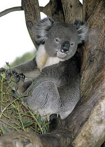 Koala Cleland Wildlife Park Near Adelaide South Australia