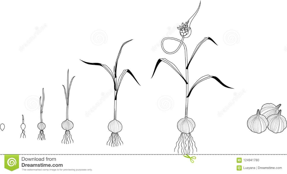 Garlic Life Cycle Coloring Page. Consecutive Stages Of