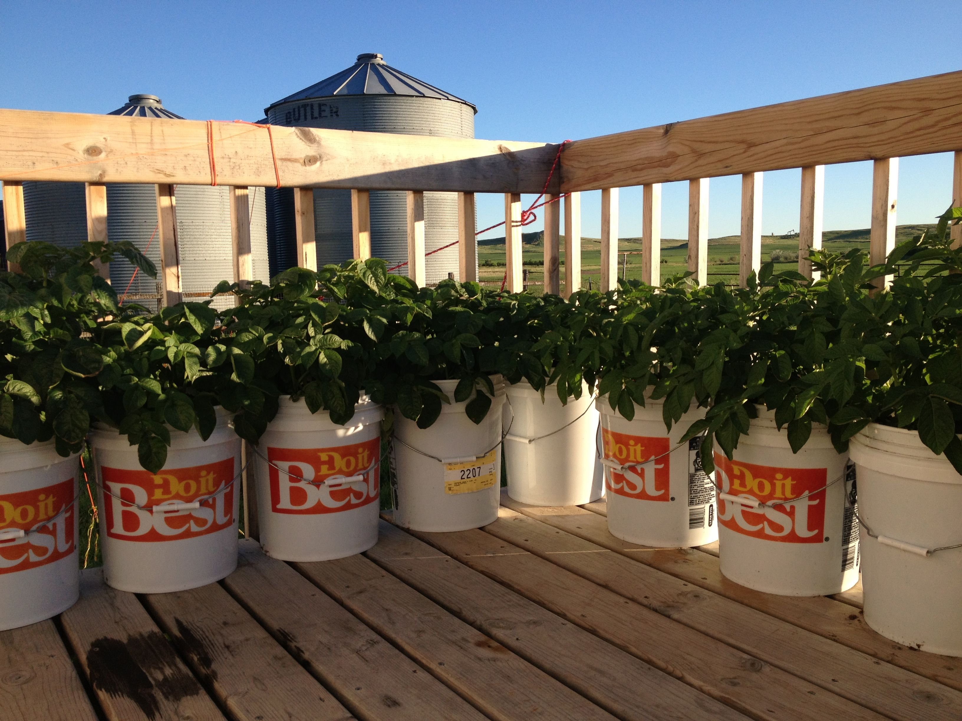 5 gallon bucket potatoes