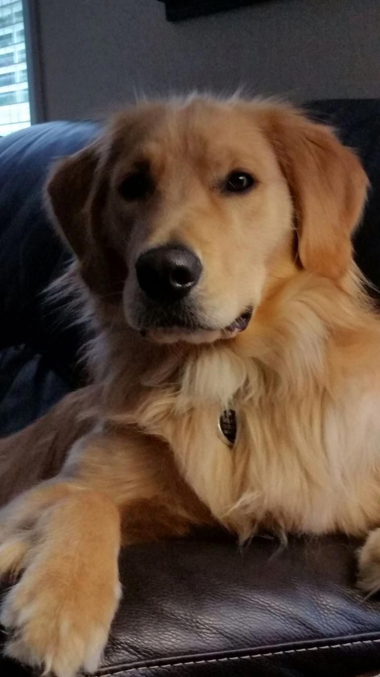Golden Retriever Noble Loyal Companions Golden Retriever Dogs Golden Retriever Dogs