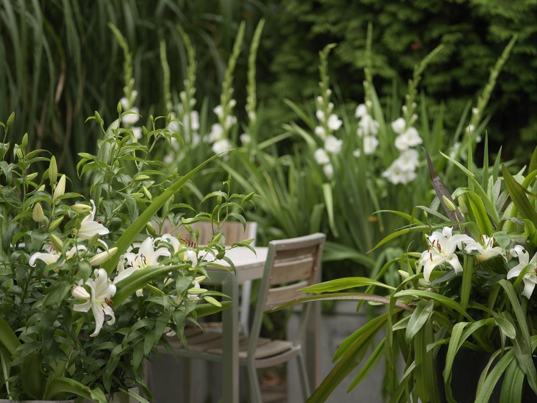 Che Cosa Sono I Bulbi gli spettacolari bulbi estivi   giardino blu, piantare e fiori