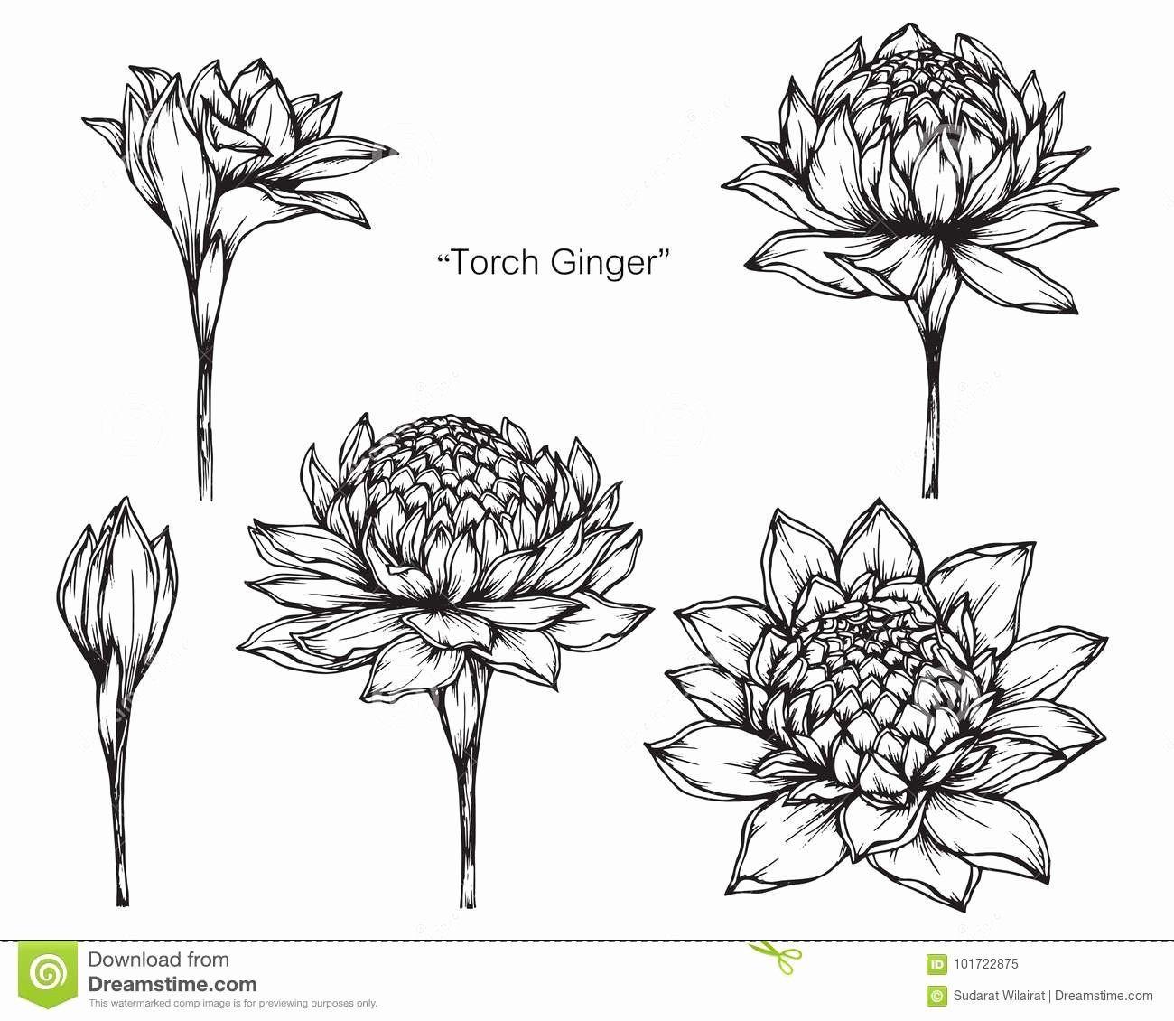 Pin By Thatakanok Phularp On Tatoveringer In 2020 Ginger Flower Torch Ginger Flower Flower Drawing