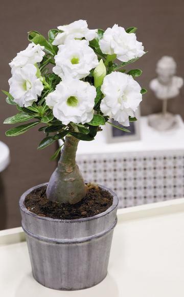 Wüstenrose pflanzen, pflegen und Tipps | Wüstenrose, Blüten und Pflanzen
