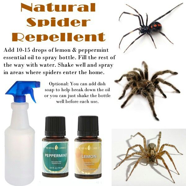 Repel Spiders With Young Living Peppermint And Lemon Essential Oils