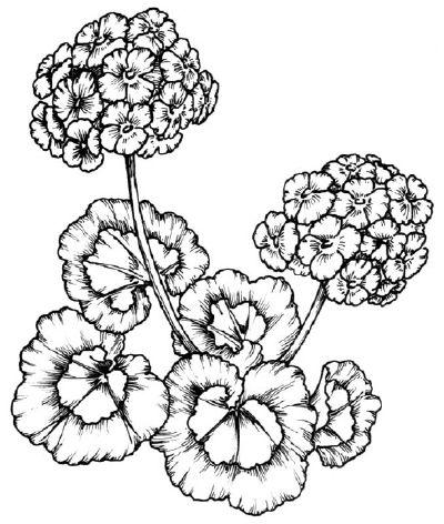 To draw a geranium, examine the illustration of the geranium before proceeding to step 1.