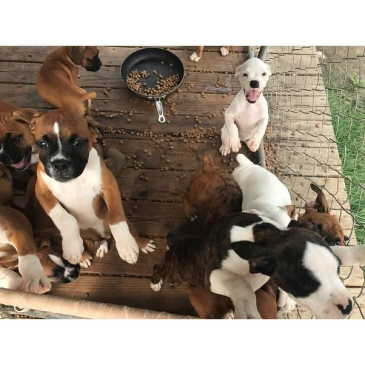 2 litters of beautiful AKC boxer puppies (With images