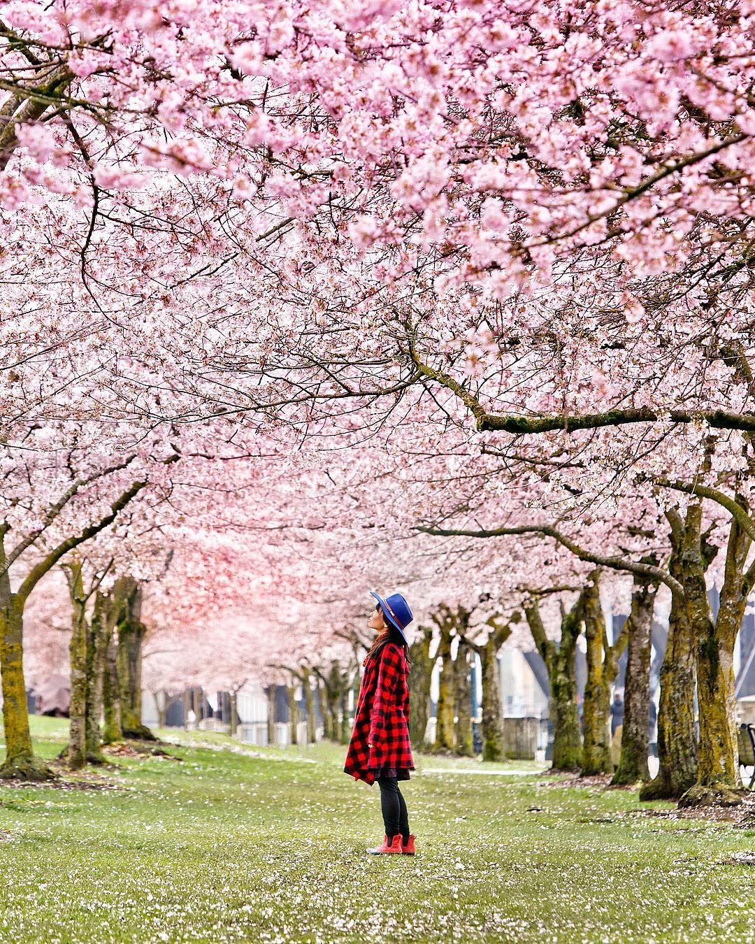 Cherry Blossoms At Tom Mccall Waterfront Park In Portland Oregon Estherjulee Pdx Portland Oregon Asia Travel Instagram Matsuri Festival