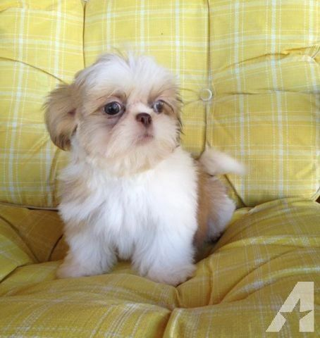 Cutest Little Cream White Shih Tzu Puppy Shih Tzu Puppy Shih