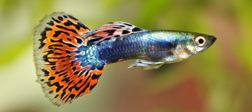 Guppy Care Guide Requirements Breeding In 2020 Breeds Guppy Guppy Fish
