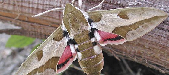 2014 Wolfsmilchschwarmer Schmetterling Falter Libellen