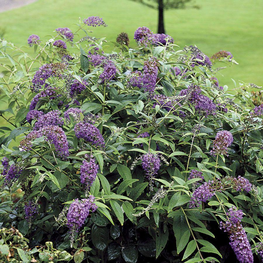 Buddleia Lo Behold Purple Haze Butterfly Bush Butterfly