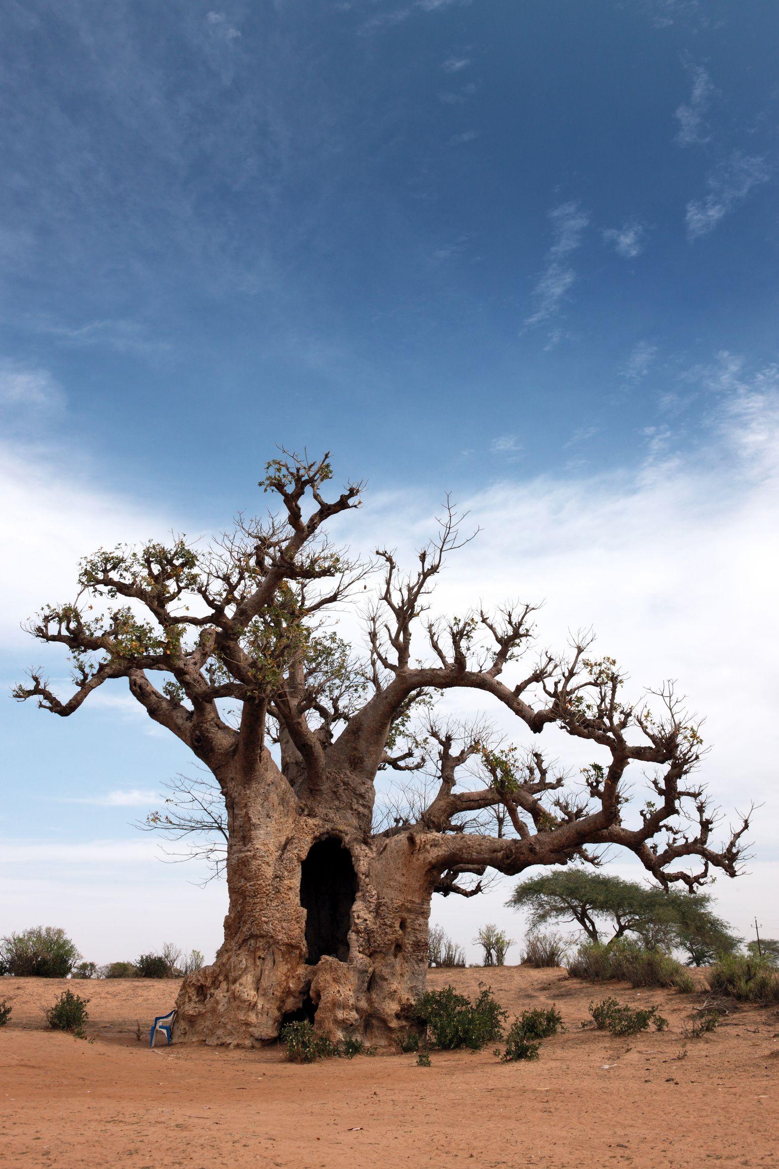 Baobab, arbre du Sénégal