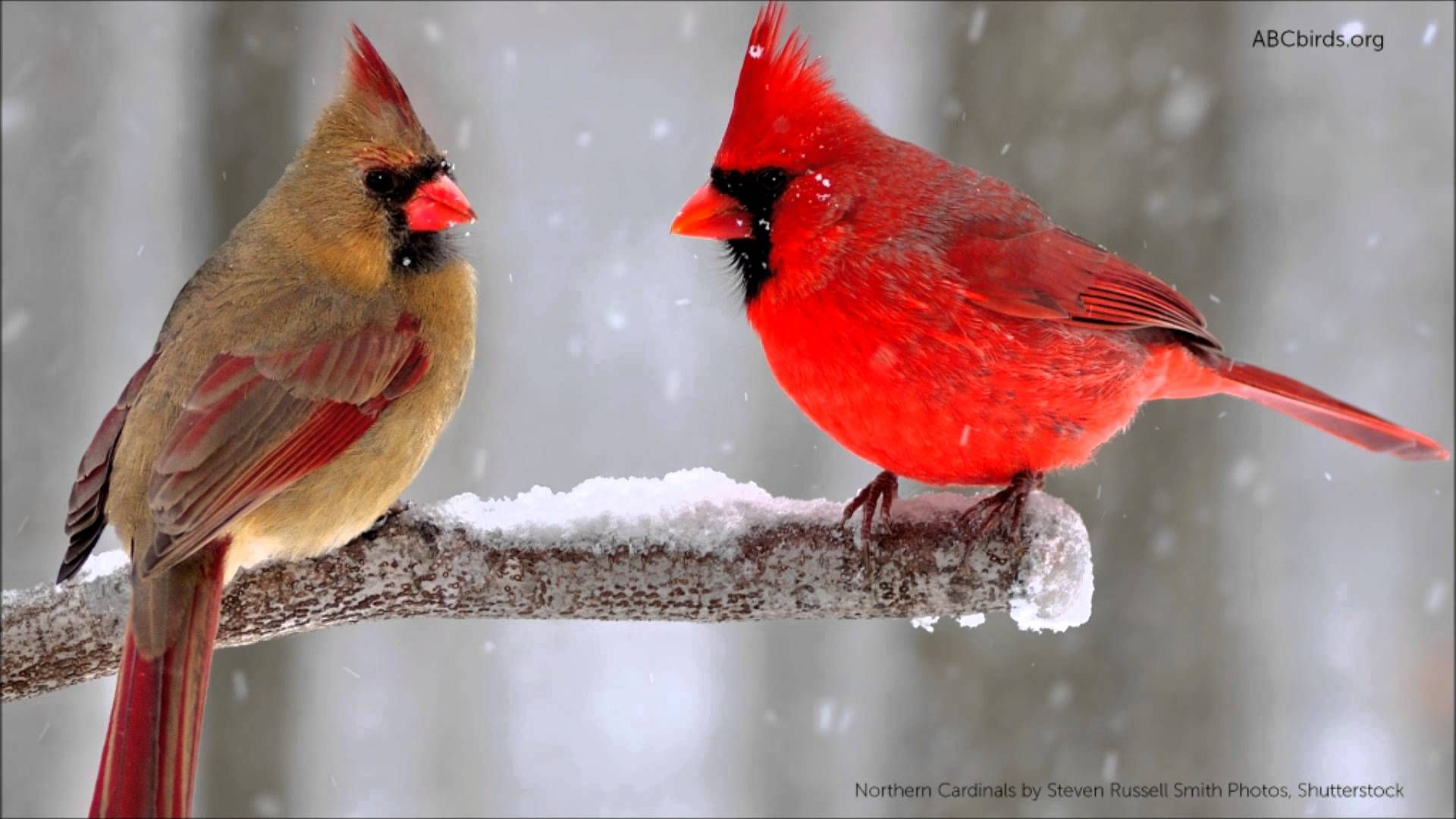 Northern Cardinal Cardinalis Cardinalis Northern Cardinals Are