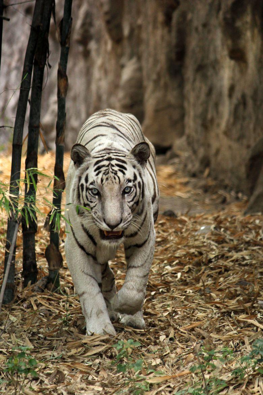 White Bengal Tiger - India