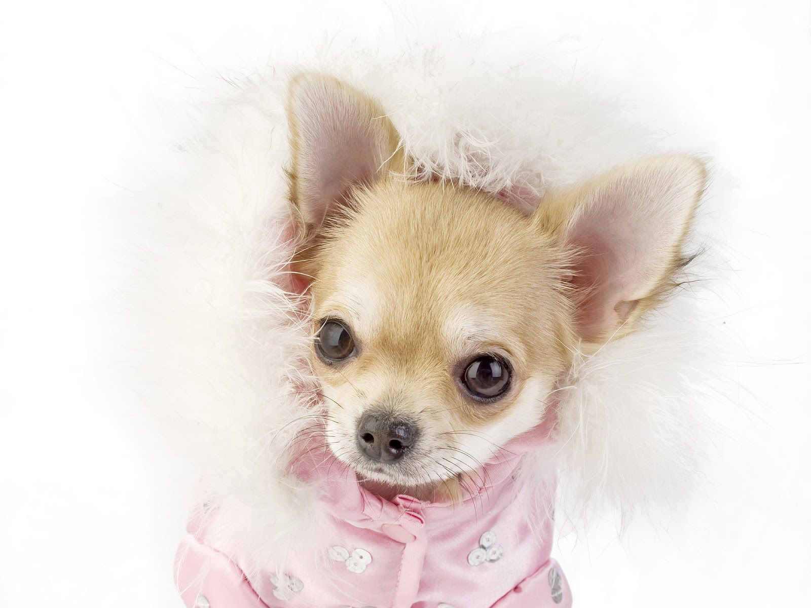 Chihuahua Puppies For Sale In Northern Cape South Africa