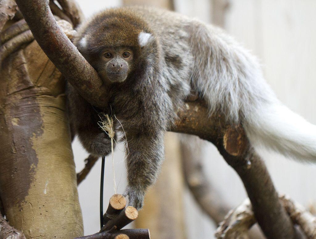 Bolivian Gray Titi Monkey | Primates New World: Bolivian