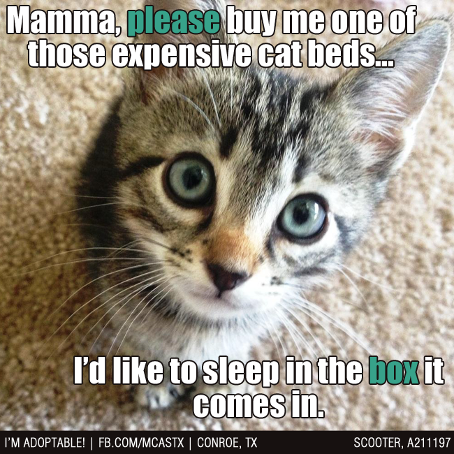 Pin By Mcas Pets On Adopted Mcas Funnies Cute Cat Memes Kittens Funny Funny Cat Memes
