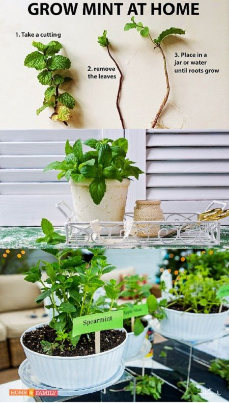 Growing Mint Inside Information On Planting Mint Indoors Mint Garden Indoor Garden Mint Plants
