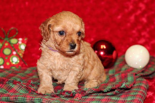 Poodle Toy Puppy For Sale In Gray La Adn 51374 On Puppyfinder Com Gender Female Age 6 Weeks Old Toy Puppies For Sale Puppies Puppies For Sale