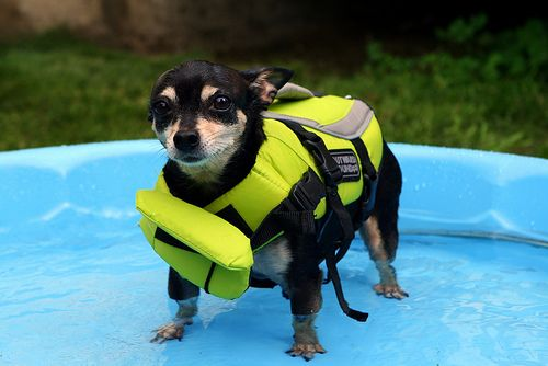 Got life vests for the chi's and Matix today because we are going to my mom's tomorrow and they like to go in the pool, but stay in until they get tired. Tried them out today in the doggie pool!   We have the latest e-cigarette models and a great variety of e-liquid flavors. Visit us at www.e-cigarilicious.com