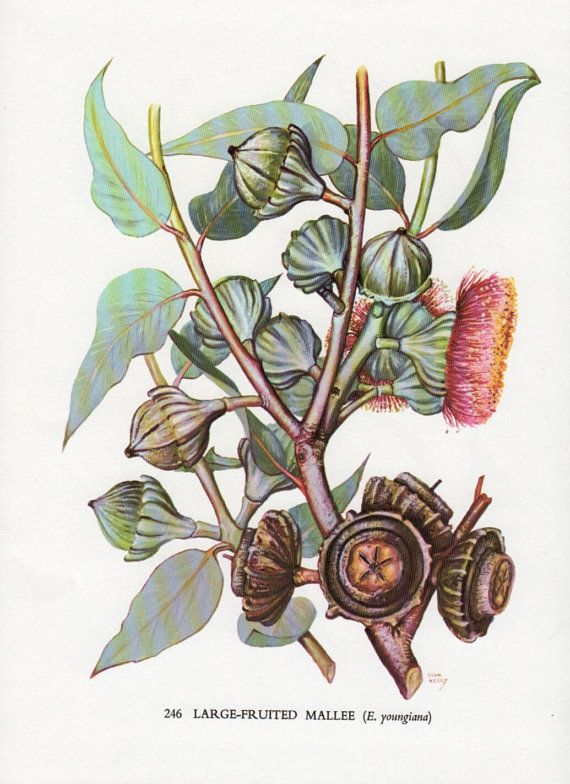 Botanical Print For Bathroom Australian Flowering Gum Tree